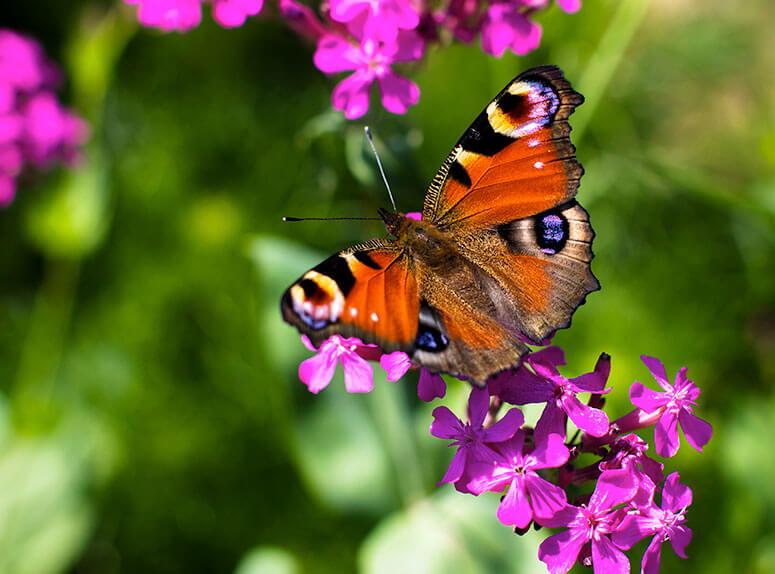 FLowers that attract butterflies