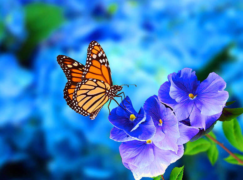 How do butterflies interacts with your garden